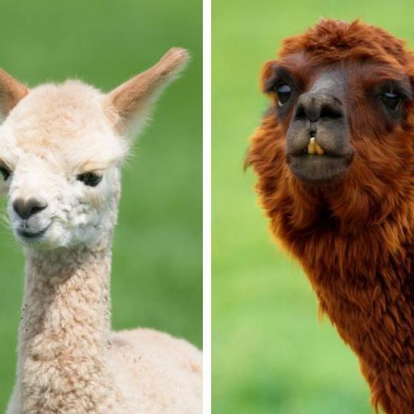 what_is_the_difference_between_a_llama_and_alpaca_3401_600_square